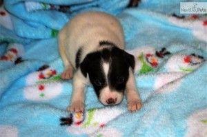 Rat Terrier Puppies Evansville In Cute Baby Animals Cute Baby Animals Terrier Puppies Rat Terrier Puppies