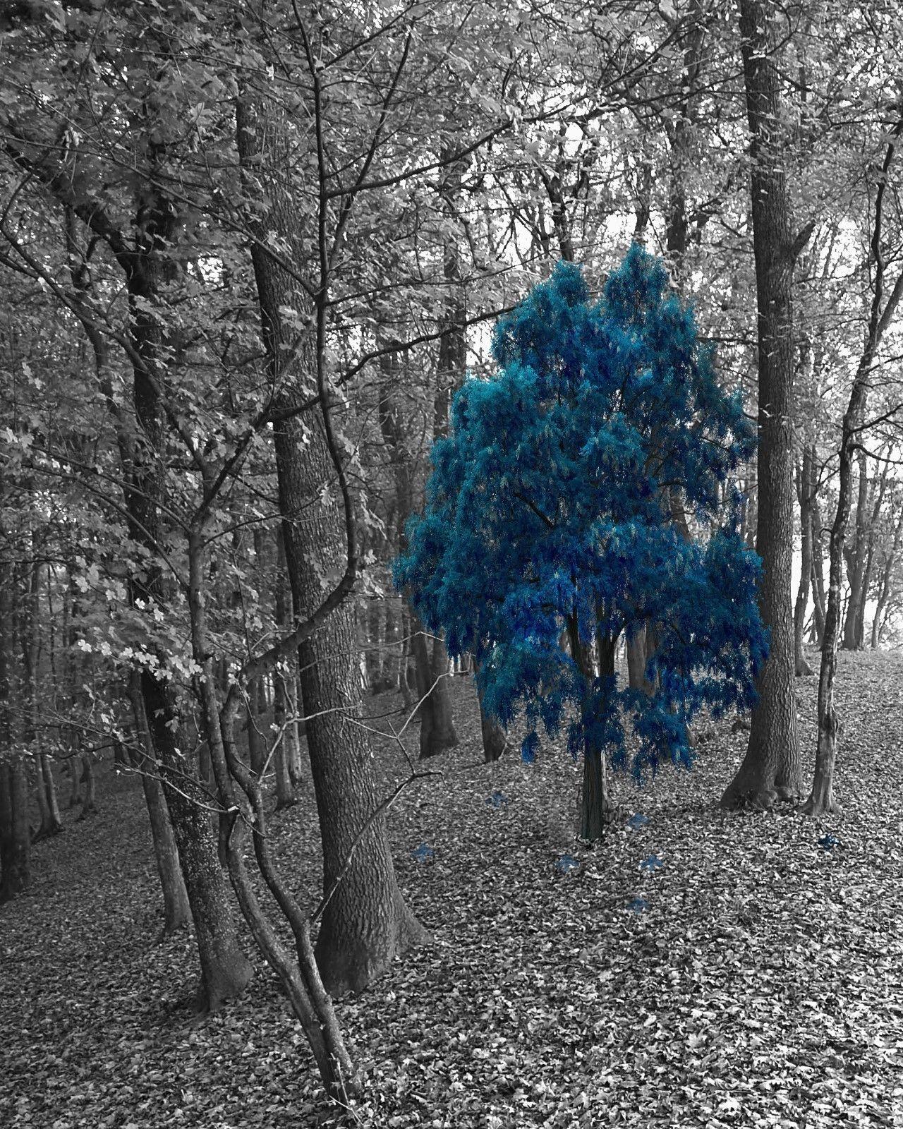 Black White Blue Tree Forest Wall Art Blue Pop Of Color Home Decor Picture Status Available Blau Grun Color Splash Grun