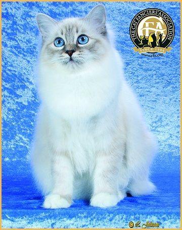 Birman Photos, Top Cats 2011-12  Best of Breed and 13th Best Kitten: GC, BW, NW WHITESOX ILLINI Blue Lynx Point Birman Female