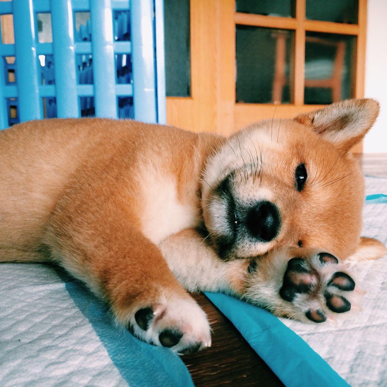 Shiba Inu Puppy Shiba inu welpen, Haustiere kaufen, Hunde