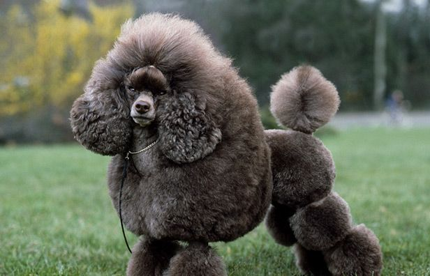 Related image Grey poodle, Beautiful dogs, Animals