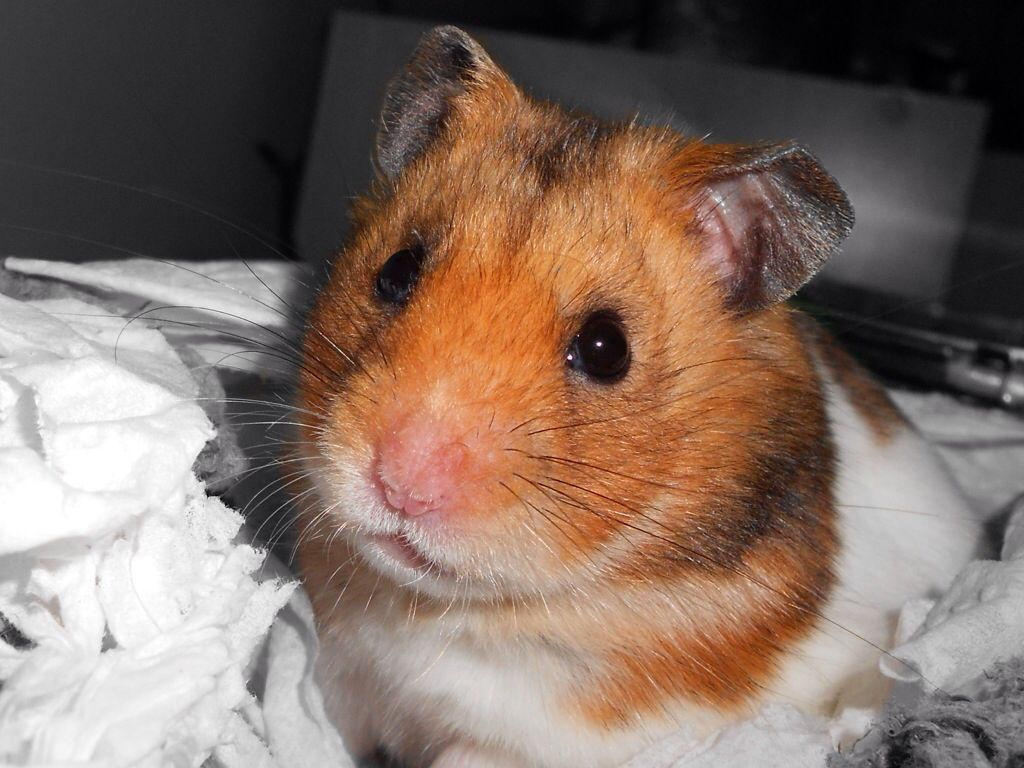 The Syrian hamster (Mesocricetus auratus) is commonly