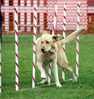 My Labrador Retriever as an agility dog!