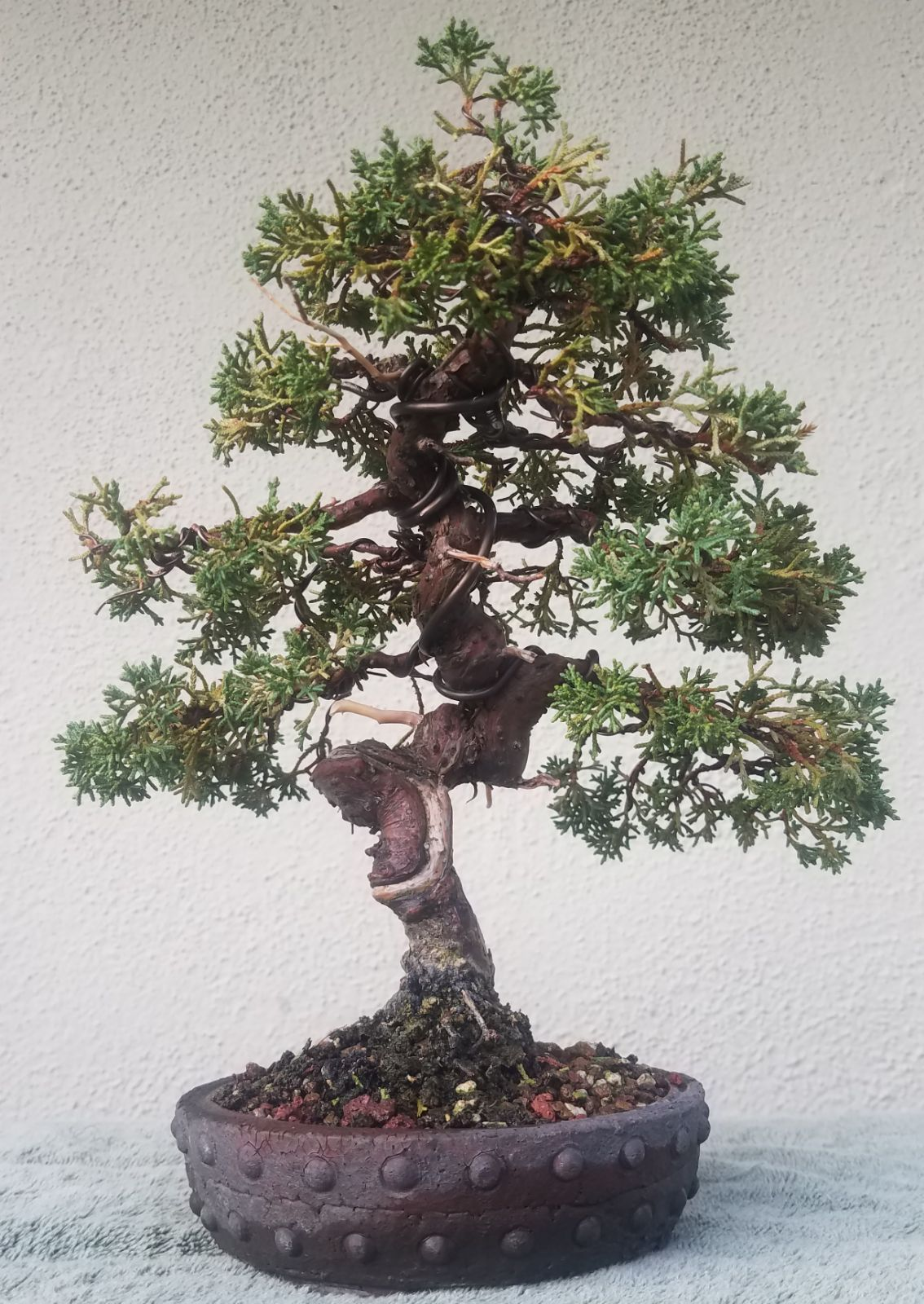 Wondrous Picture 4 I Did Some Minor Pruning And Wiring On My On My Shohin Wiring Digital Resources Funapmognl