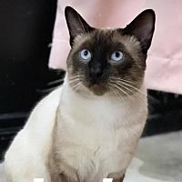 Los Angeles, California Siamese. Meet Jack, a for
