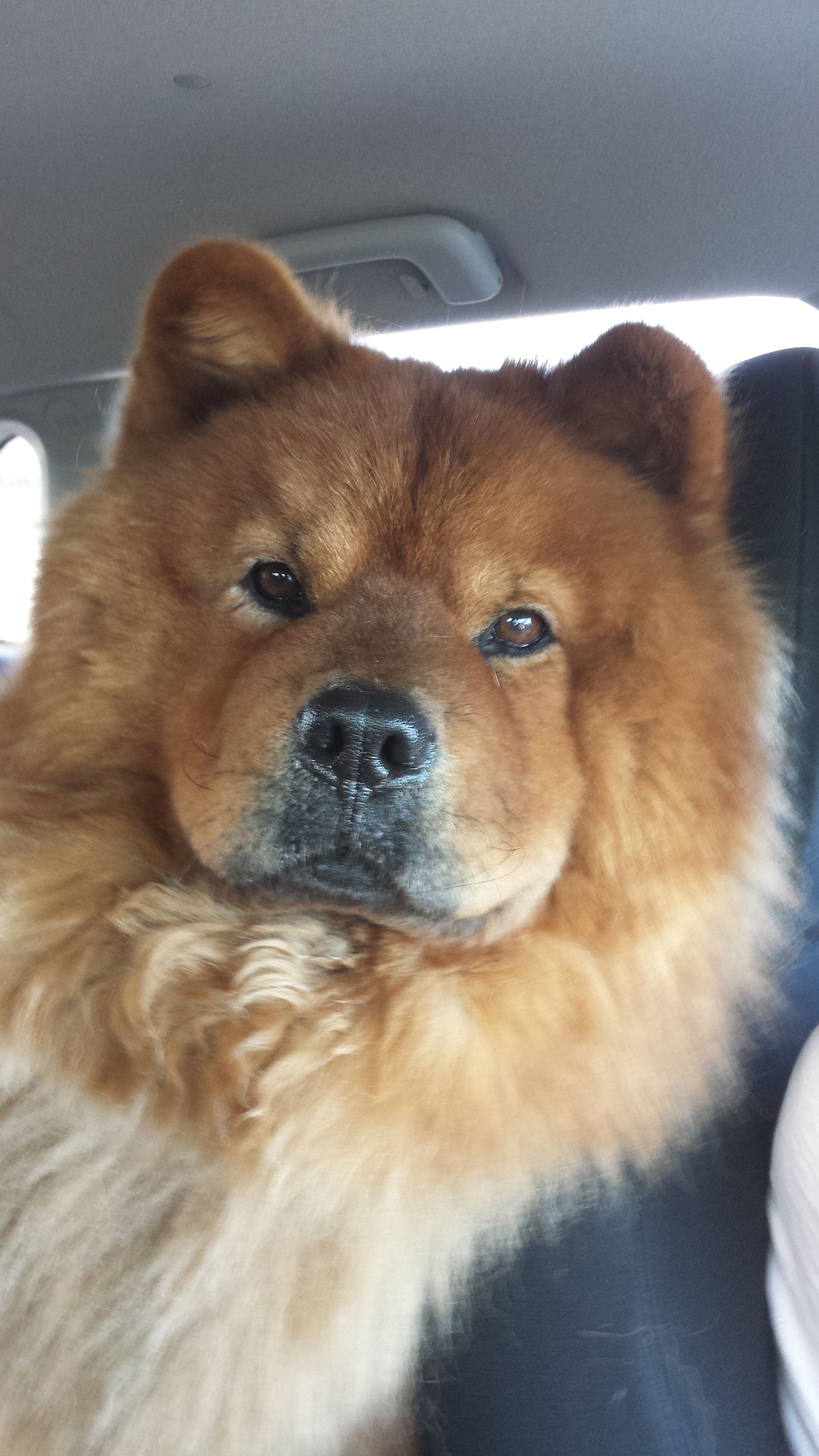 So Handsome Chow Chow Dogs Boo The Dog Cute Puppies