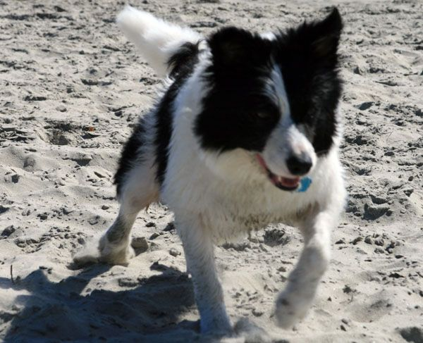 Border Collie Temperment Border Collie Dog Border Collie Dogs