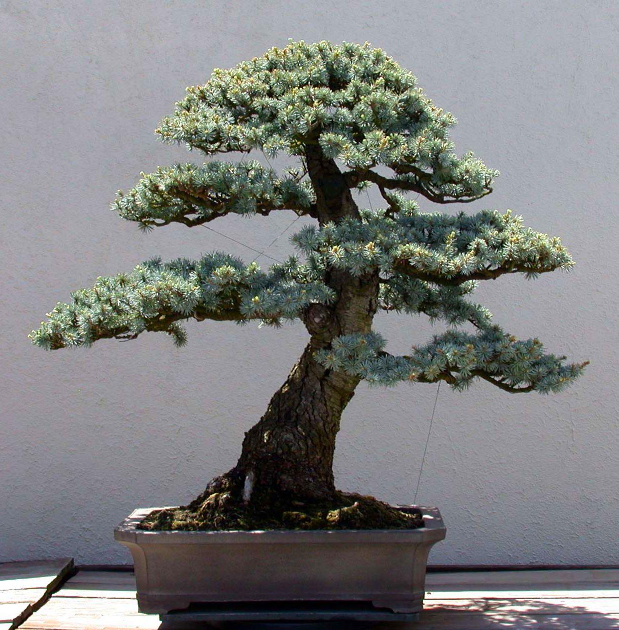 Blue Atlas Cedar Bonsai Tree Bonsai Plants Cedar Trees