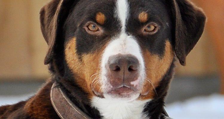 Appenzeller Sennenhund Dogs, Mountain dogs, Animals
