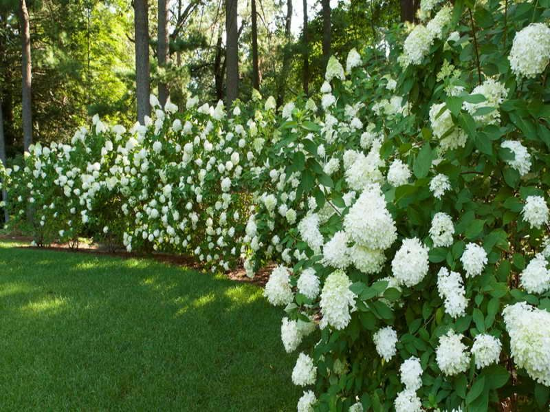 Privacy Hedge Ideas Beautiful Hedges Gardening With White Flower