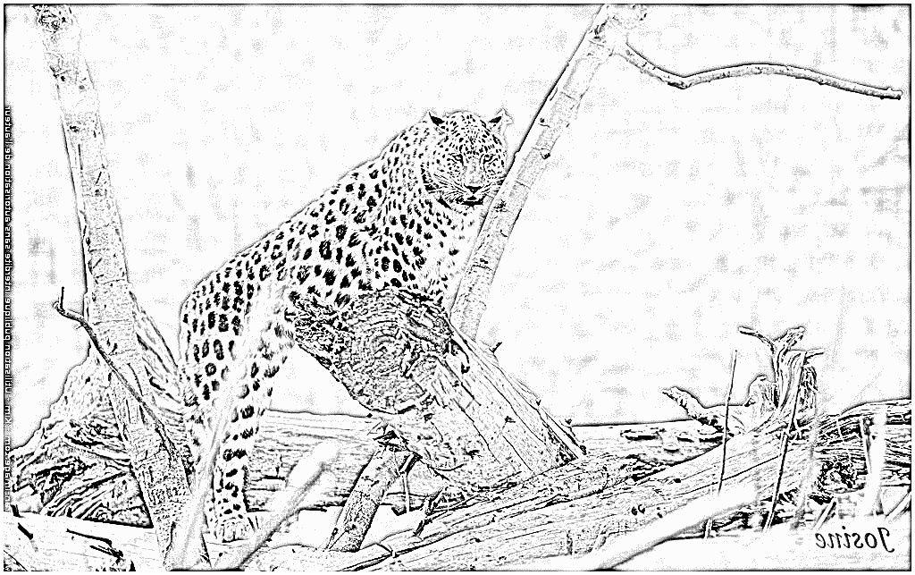 Coloriage Leopard 9 Remarquable Coloriage Leopard Stock