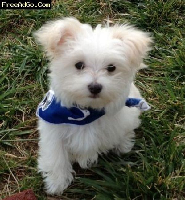 Maltese Puppies For Sale In Pa Zoe Fans Blog Maltese Puppy