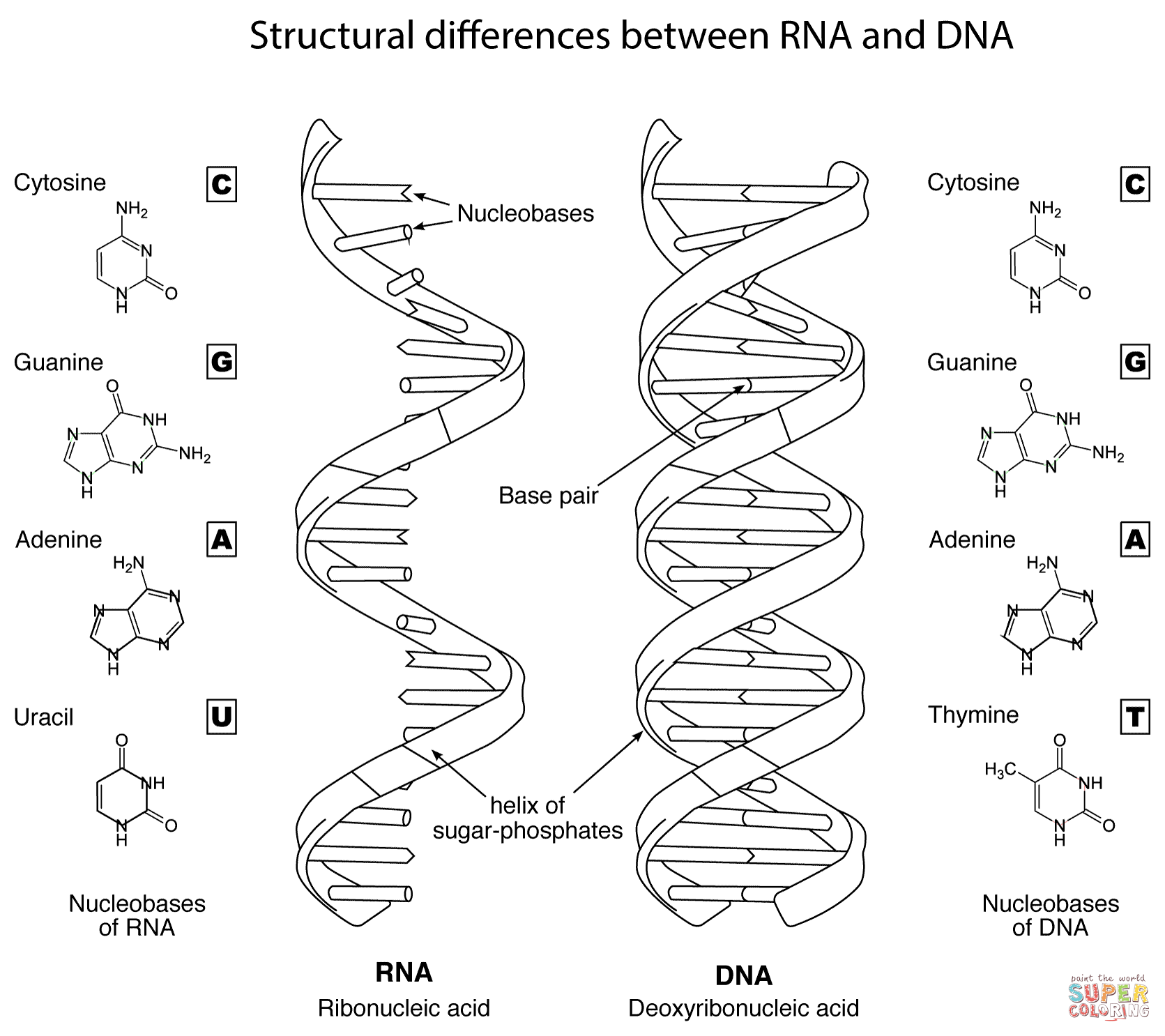 Structural Differences Between DNA and RNA Coloring