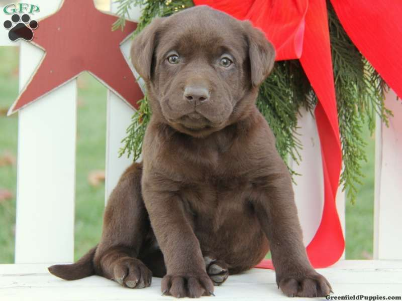 Chester Chocolate Lab Puppy For Sale From New Holland Pa Lab Puppy Chocolate Lab Puppies Puppies