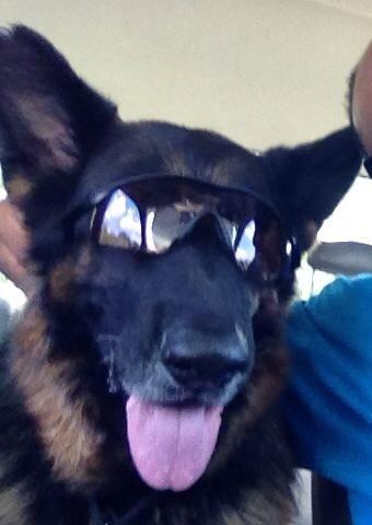 German Shepherd Sunglasses Lucy Ricky Animals Dogs German