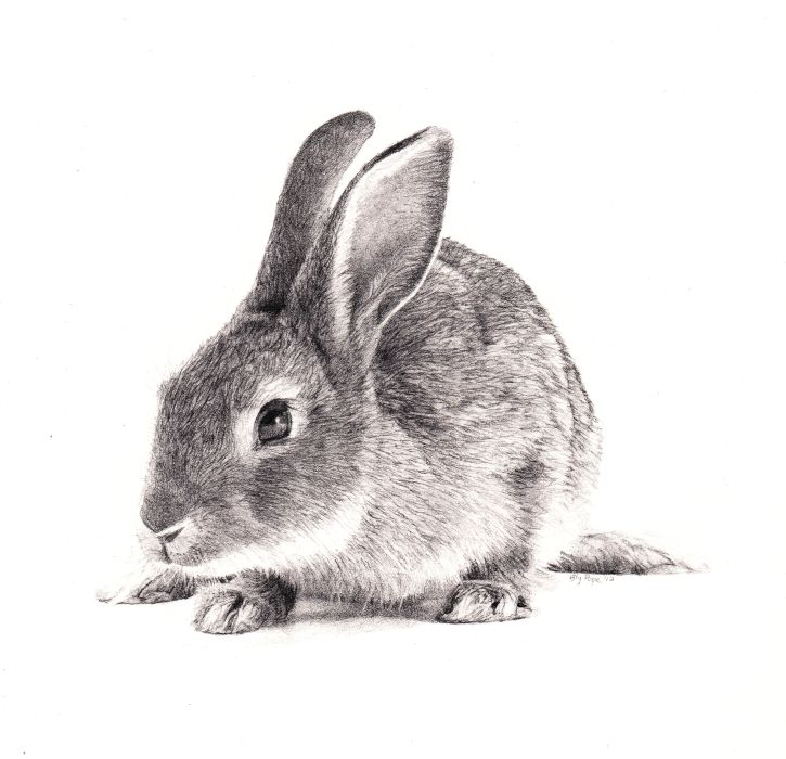 "Pencil Drawings of Rabbits | Rabbit, pencil, 4"" X 4"" - March 2012 - Bly Pope"