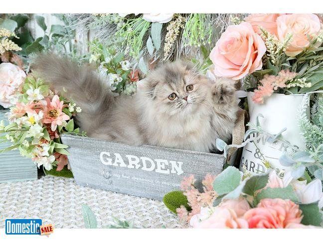 Persian Kitten Persian Kittens For Sale Persian Kittens Kitten