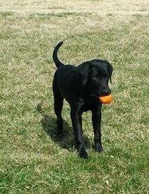 Adopt Coal On Petfinder Black Labrador Retriever Black Labrador Labrador Retriever Dog