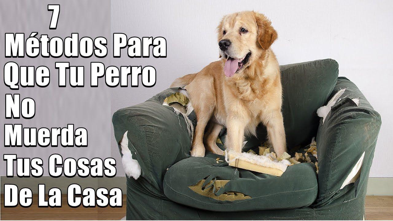 Mi Perro Muerde Todo Que Hago 7 Métodos De Solución Muebles Obje Perros Adiestramiento Perros Educar A Un Perro