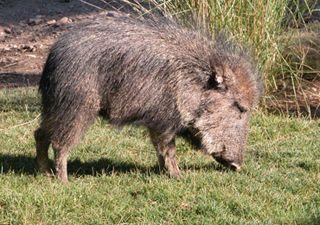 Giant Peccary Pecari maximus | Like animals, Animals, Mammals