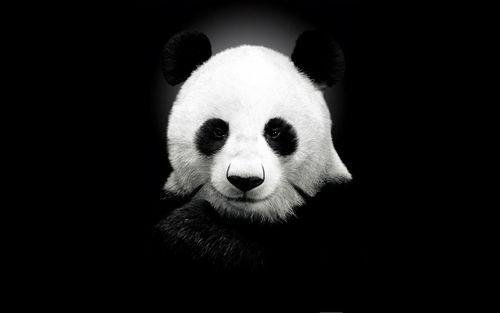 Panda High Quality Wallpaper Images 1080p Hd Pictures Tablet Mobile Pc Panda Bears Wallpaper Panda Wallpapers Panda Bear
