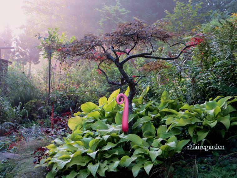 Sunpower hosta and hard pruned Crimson Queen Japanese maple in the morning light