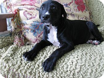 Philadelphia, PA - Labrador Retriever Mix. Meet Korbyn, a puppy for adoption. http://www.adoptapet.com/pet/13975579-philadelphia-pennsylvania-labrador-retriever-mix