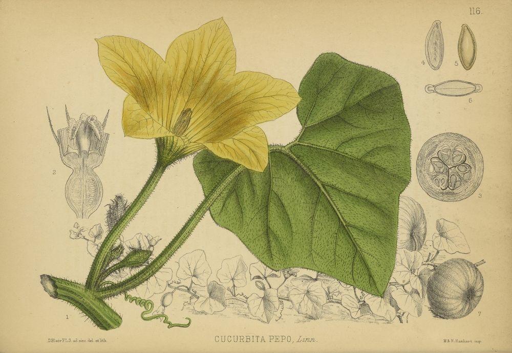 Medicinal Plants --- Pumpkin (Cucurbita pepo) found in Robert Bentley and Henry Trimen's Medicinal Plants, London, Volume II, 1880 (Plate 116) Source Rare Books Date 1880