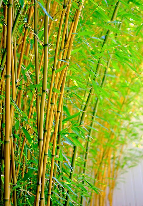 Yellow Groove Bamboo Photograph Dslr Background Images Desktop
