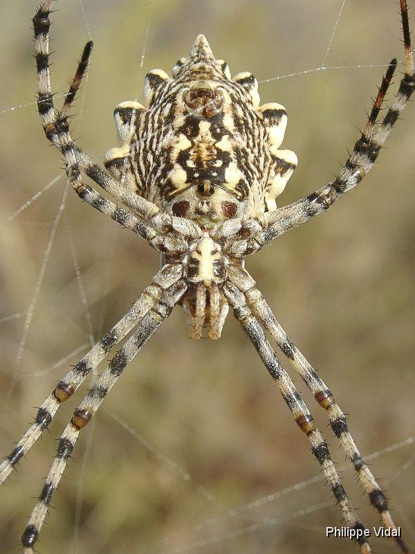 araignée d'espagne