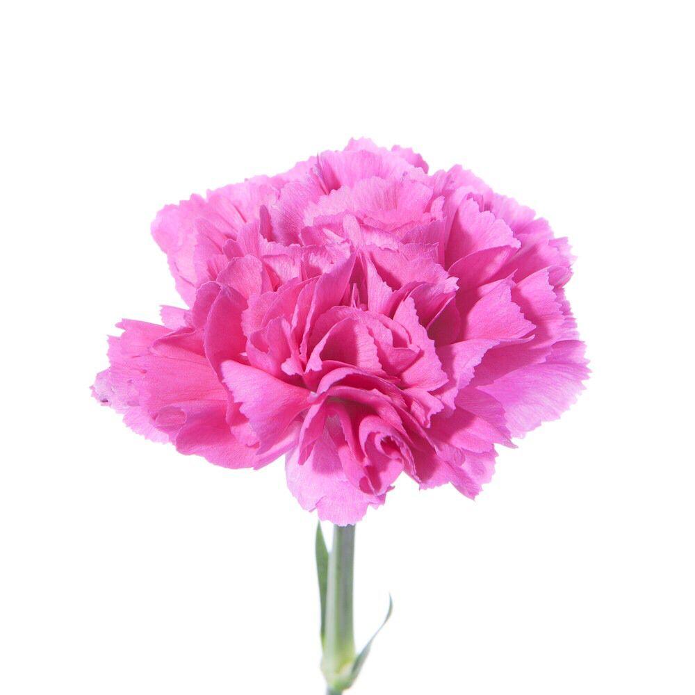 Hot Pink Carnation Flowers Carnations Pinterest Pink