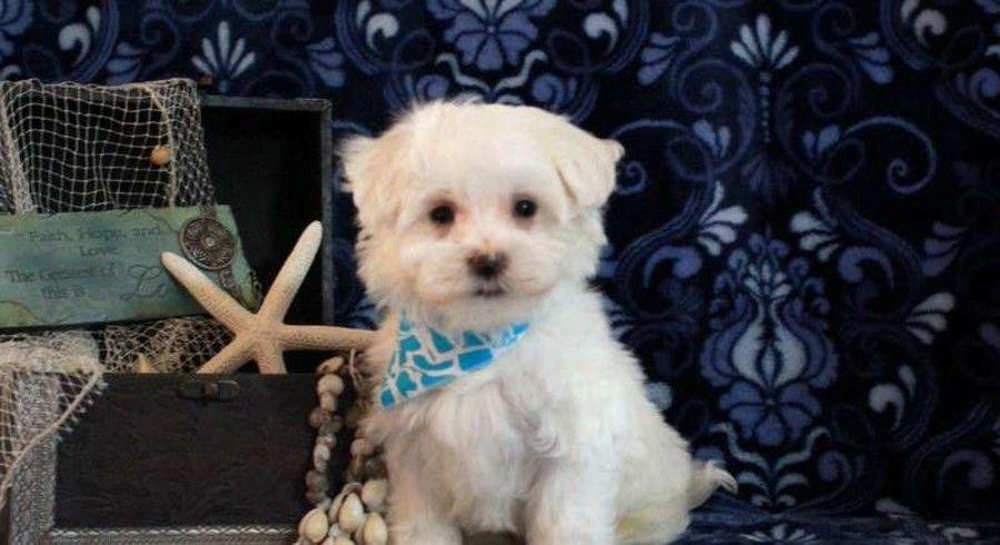 Denver Pa Maltese Meet Dylan A Puppy For Adoption Choosing Dog