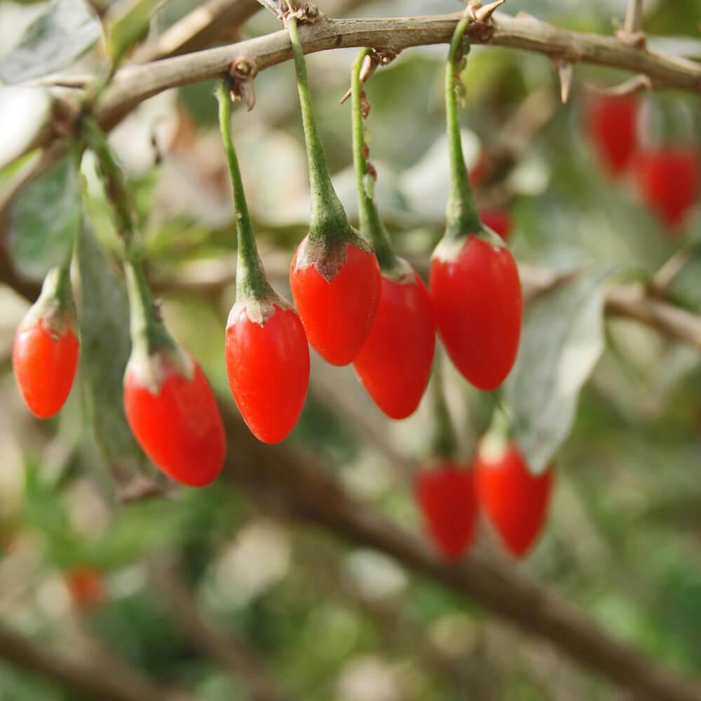 Goji Berry Fruit Plant Seeds Aka Wolfberry Fruit Goji Berries