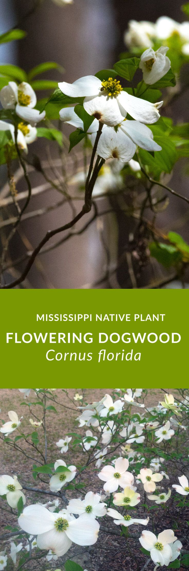 Flowering Dogwood Has A Lot Of Beauty And Wildlife Value It Is A