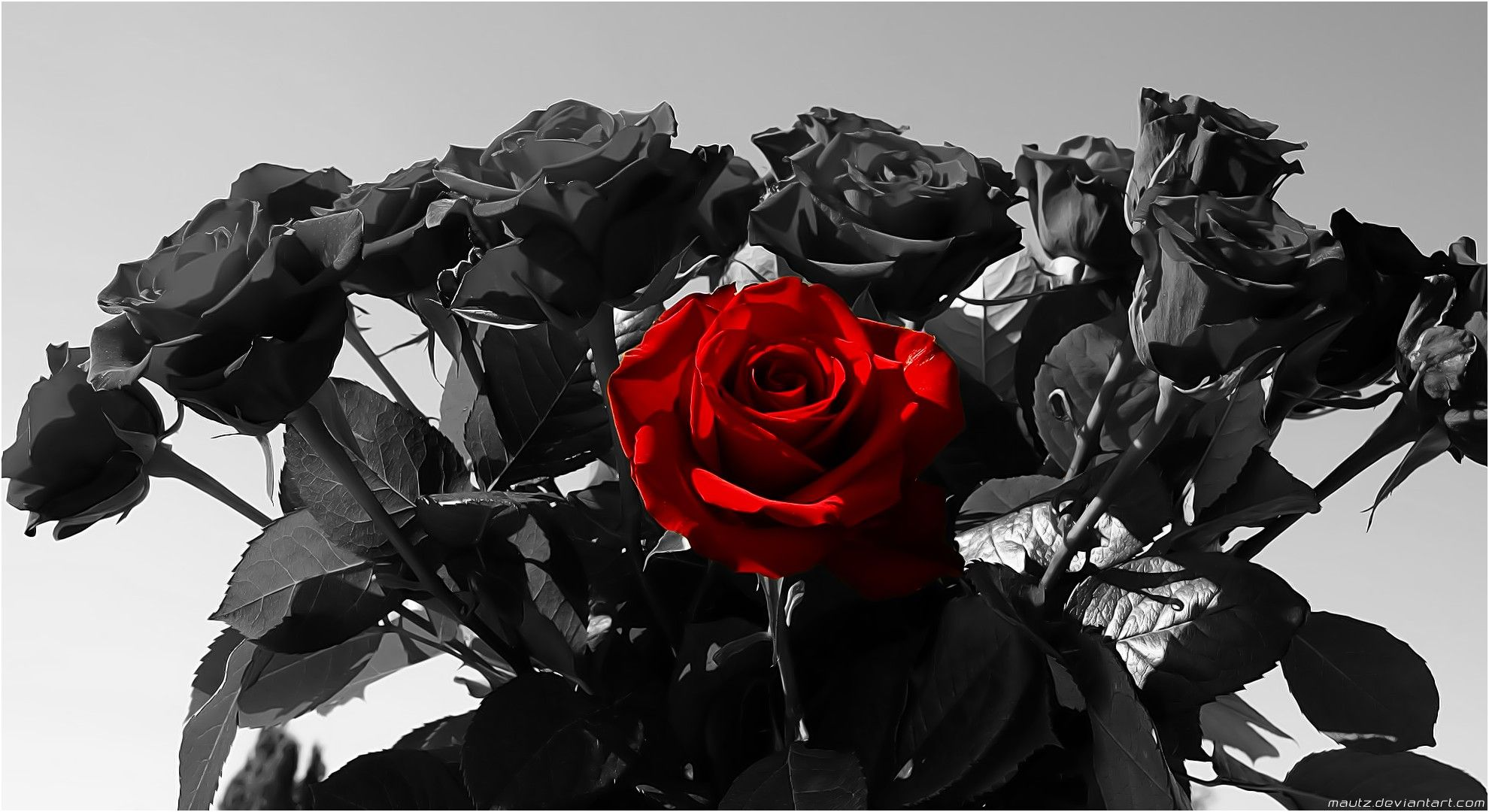 Awesome Red Rose In Black and White Background di 2020