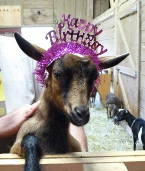 goat a birthday hat goats goats everywhere happy