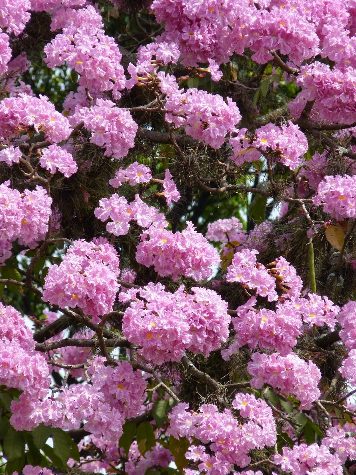 tabebuia rosea arbol hermoso medellín colombia arboretum