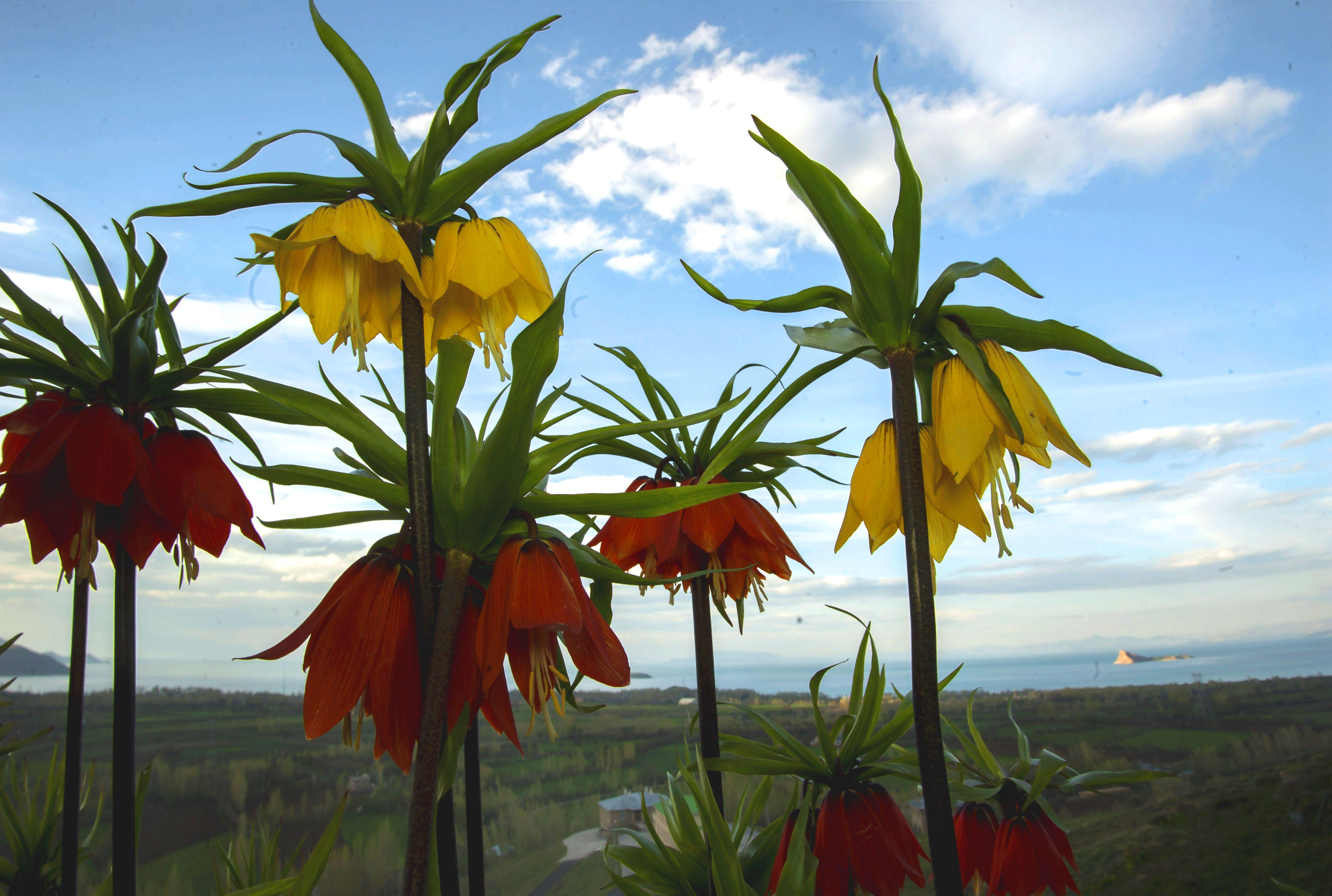Ters Lale 2020 Laleler Cicek Tulip