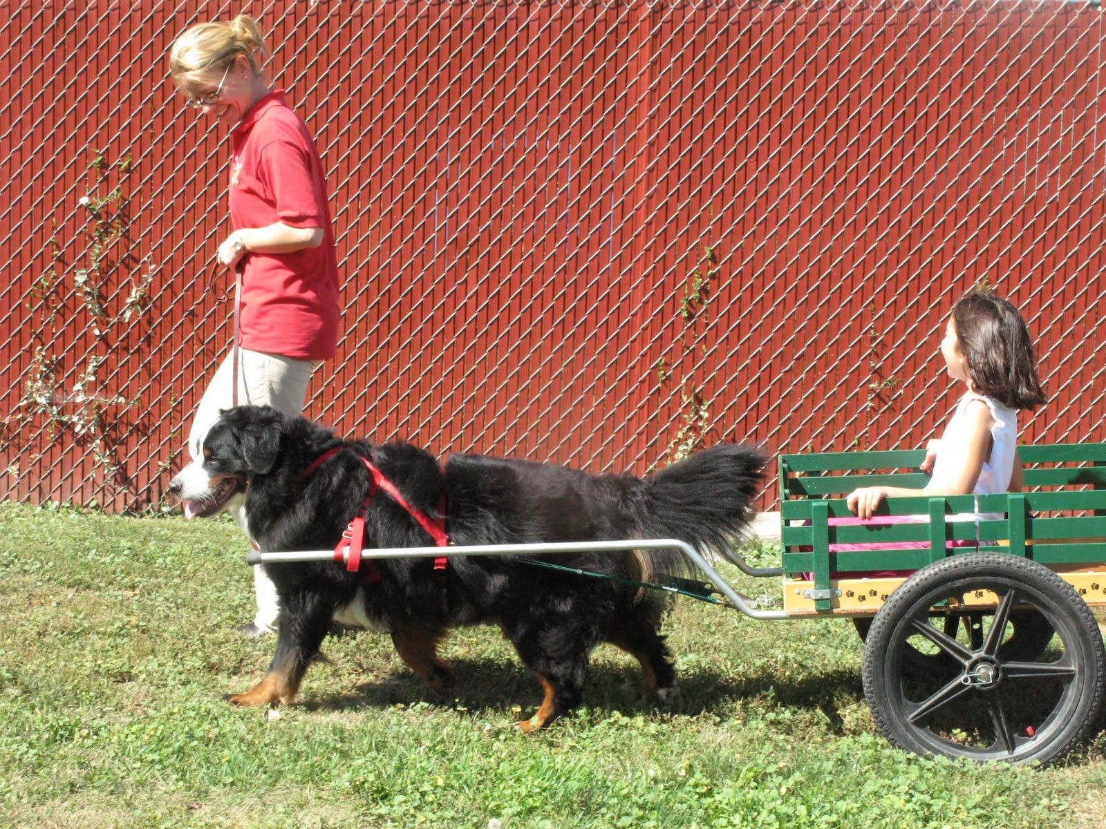 Image Bernese Mountain Dog With Cart Teaching Your Dog To Pull A