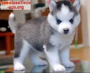 Free Classifieds Ads Org Siberian Husky Puppies For Adoption