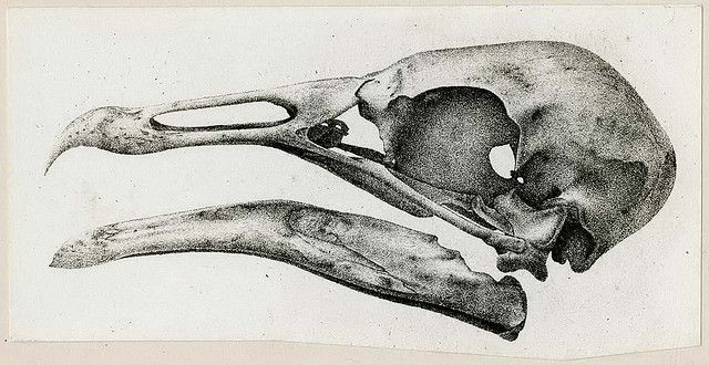 Drawing Of A Bird Skull Ncp 000548 National Museum Of Health And Medicine Scientific Illustration Bird Skull Crows Drawing