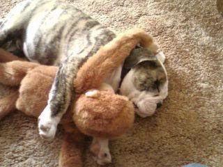 dog brings toys everywhere