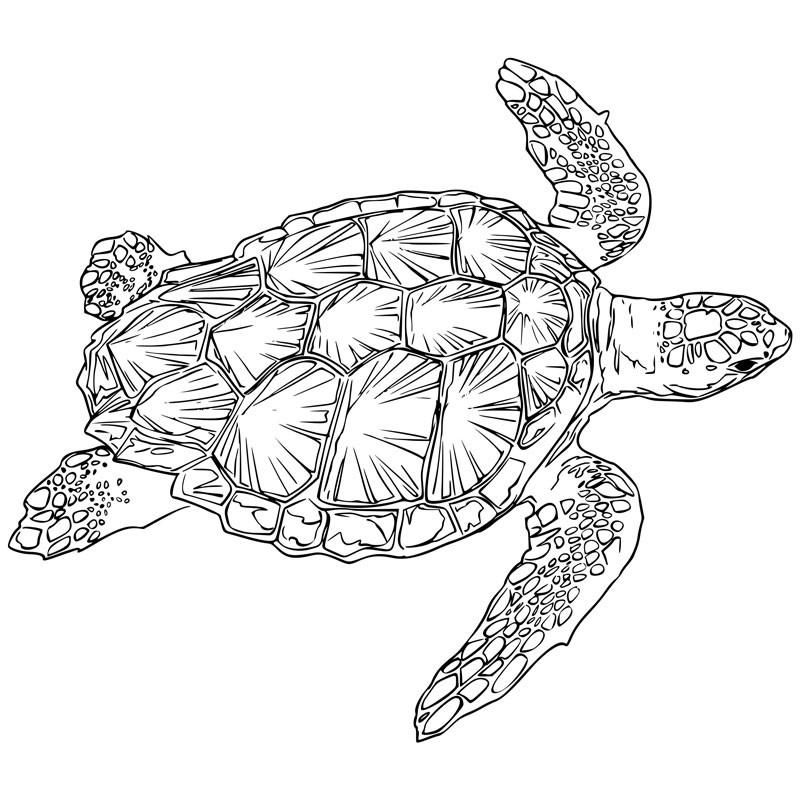 Turtle Engraving Large Turtle Images Turtle Coloring Pages Turtle