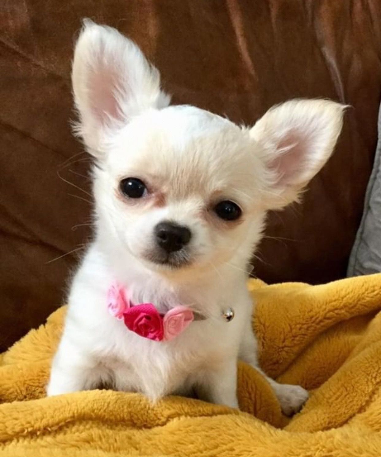 Chihuahua Dog Chiwawa Dog Information Chihuahua Dogs Baby