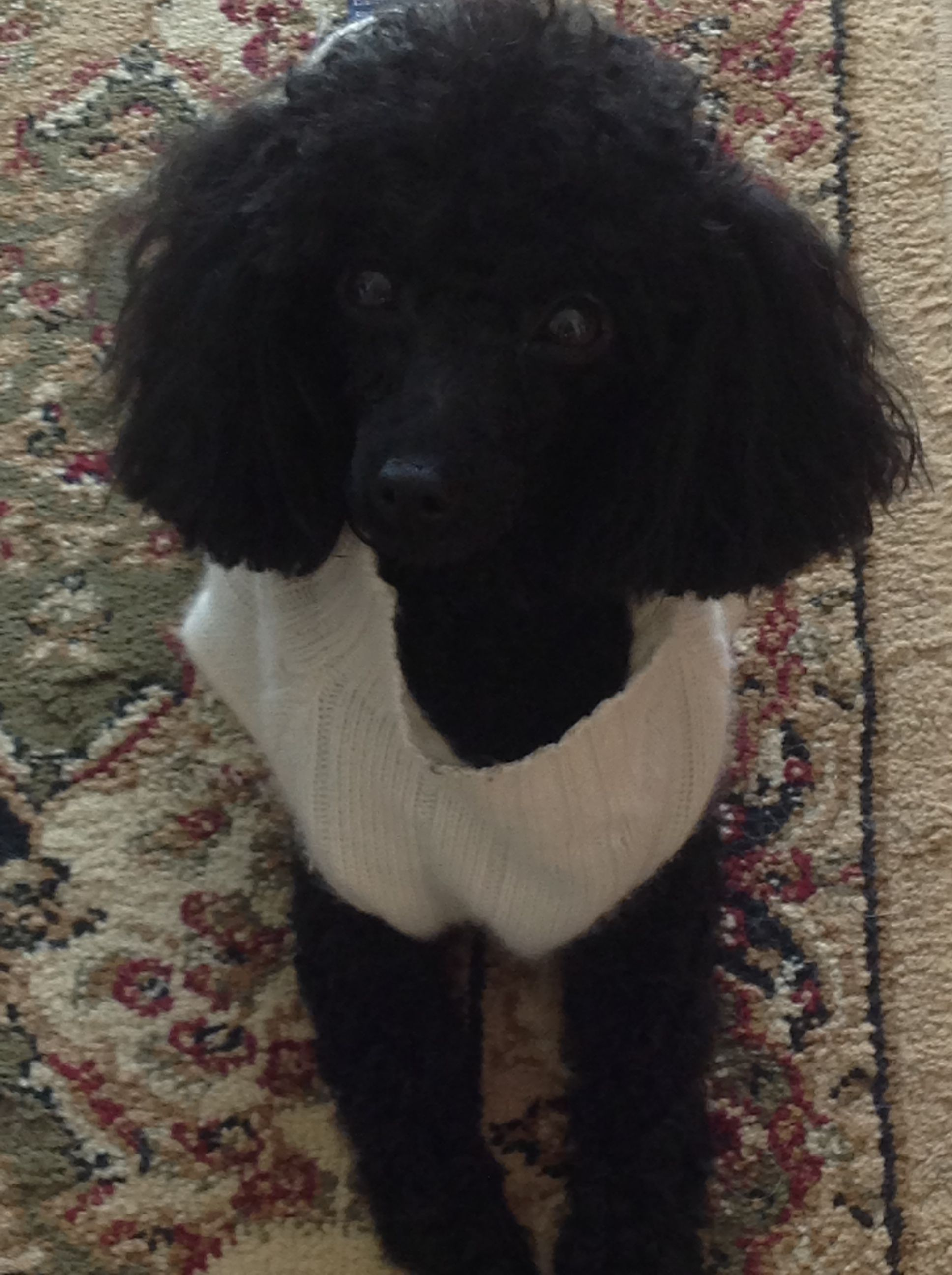 Little Toy Poodle In Rl Cashmere Poodle Poodle Mix Little Dogs