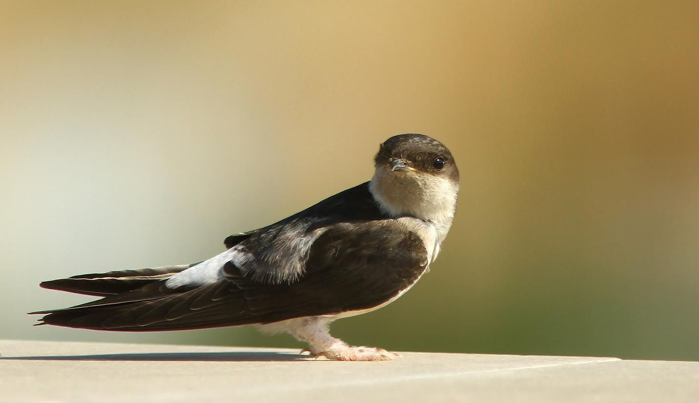 White-rumped Swift, sub-Saharan Africa, Morocco, & S Spain