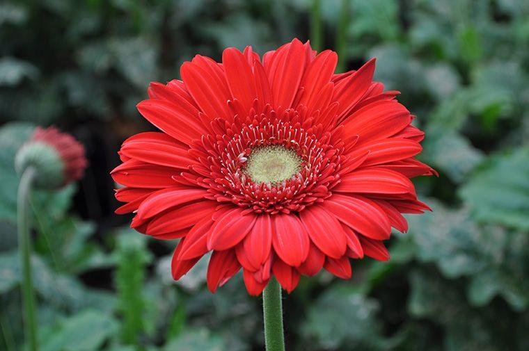 Gerber Carambol Gerbera Flowers Floral
