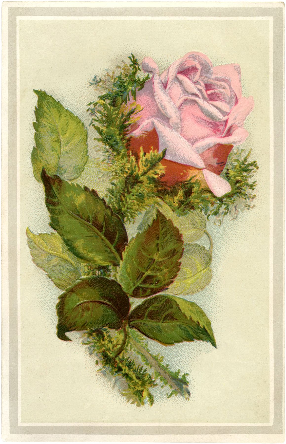 Gorgeous Vintage Pink Moss Rose Image Smell The Roses Other