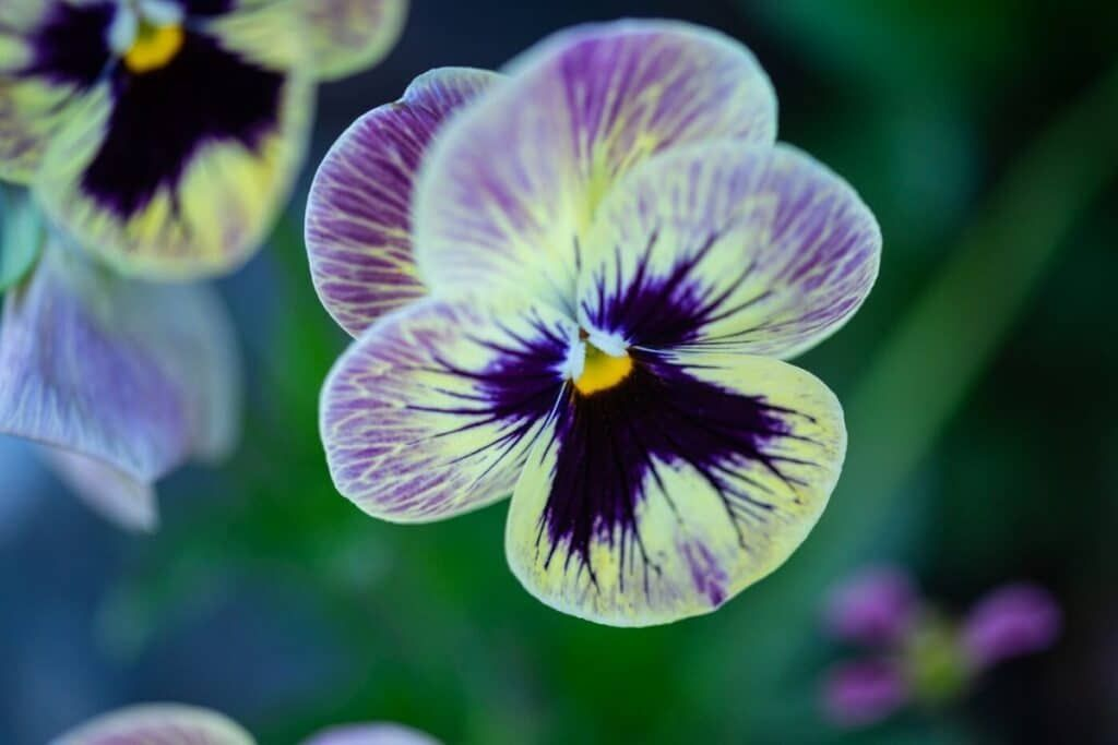 Surprising Meaning And Symbolism Of Pansy Flower And Color Florgeous In 2020 Pansies Flowers Pansies Get Well Flowers