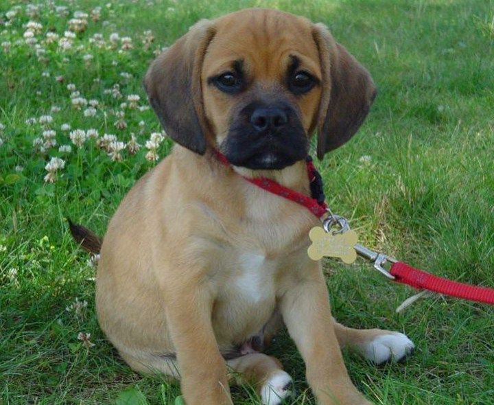 best medium sized family dogs Car Tuning Puggle puppies